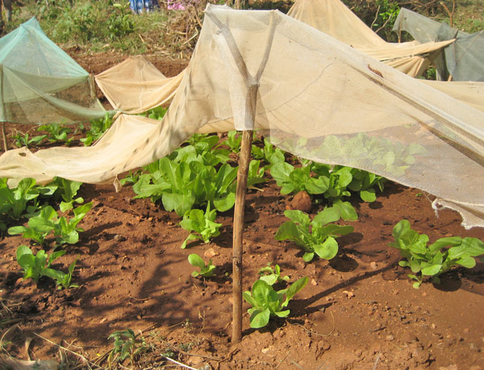 Kurs Gartenbau: Die erzeugte Produktvielfalt – insbesondere Salat, Tomaten, Mangos, Papayas und Guaven – trägt auch zur qualitativen Verbesserung des traditionell recht einseitigen Nahrungsangebotes innerhalb der Bevölkerung bei.